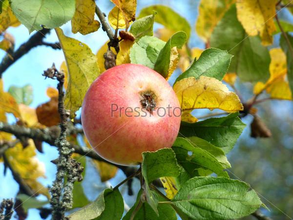 Красное спелое яблоко на яблоне