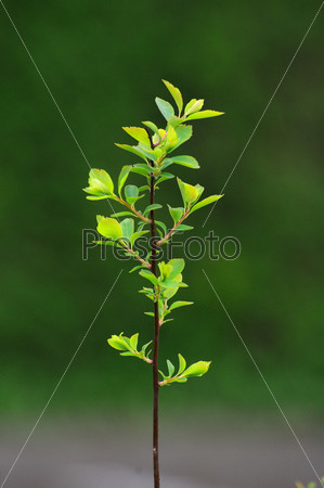 Young branch with leaves of a bush in Fulda, Hessen, Germany