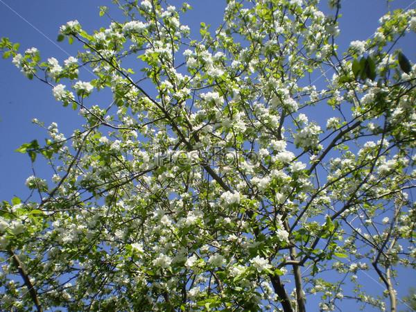 Цветущее дерево на небесном фоне