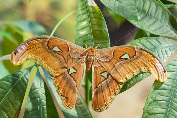 Attacus lorquini butterfly