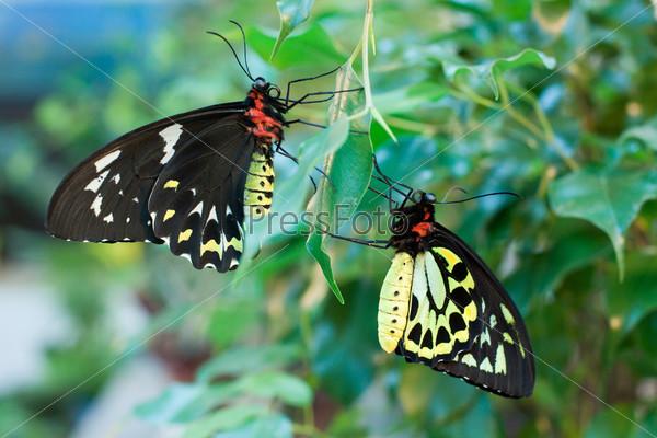 Бабочки Орнитоптера Приам, самка и самец
