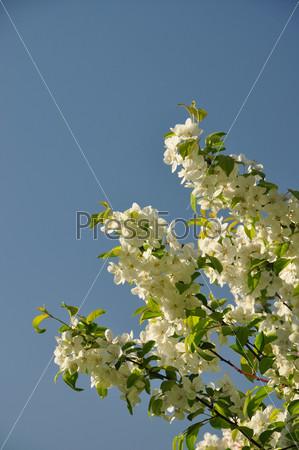 Цветущая вишня на фоне голубого неба