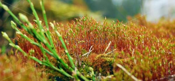 Ярко-красный весенний мох