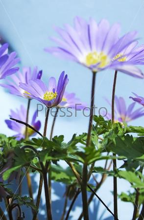 Голубые весенние цветы