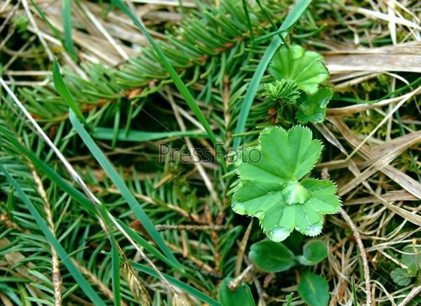 Лист маежетки в траве