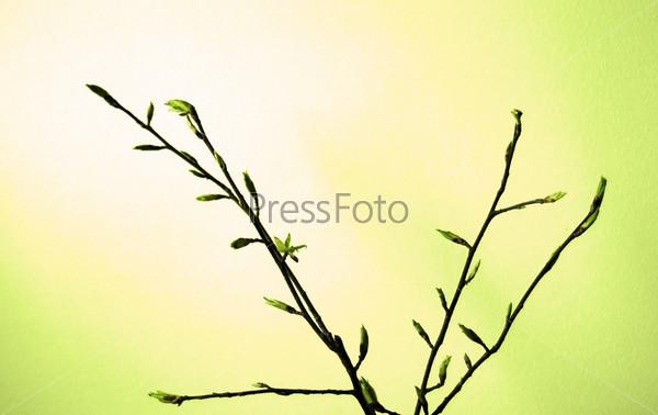 Ветки дерева с раскрывающимися почками