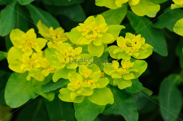 Yellow-green flowers in Fulda, Hessen, Germany
