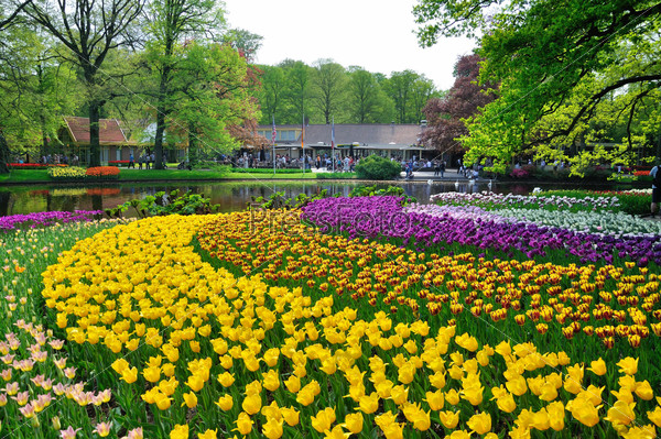 Pink, yellow, purple and white tulips in Keukenhof park in Holla