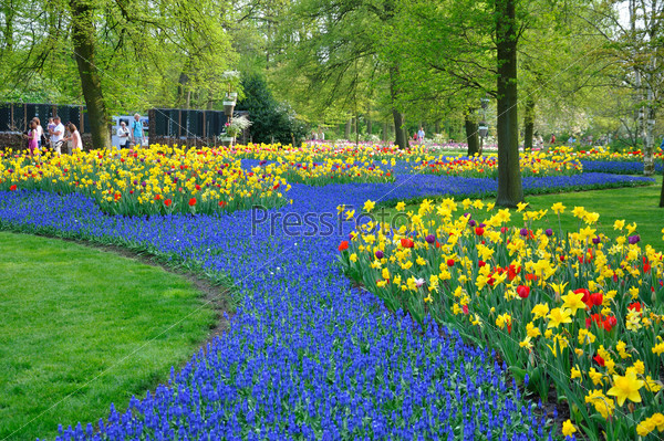 Blue and yellow tulips and daffodils in Keukenhof park in Hollan