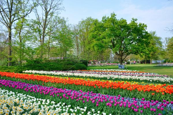 Purple, red, white and orange tulips in Keukenhof park in Hollan