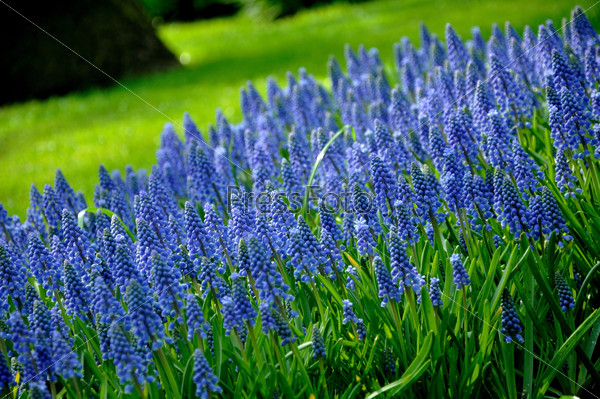 Grape Hyacinth with green grass in Keukenhof park in Holland