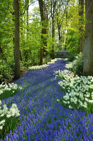 Grape Hyacinth and white daffodils in Keukenhof park in Holland