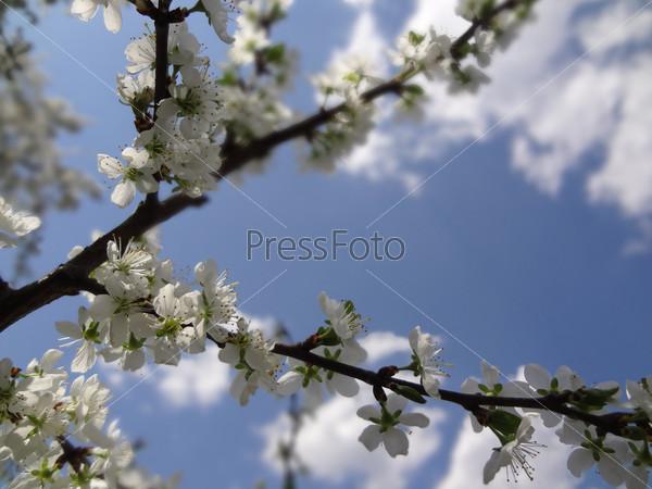 Веточка цветущего дерева на фоне голубого неба