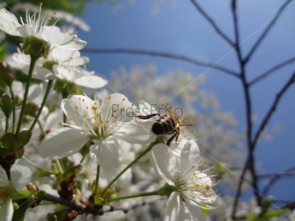 Пчела на вишневых цветочках