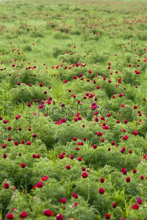Цветы-лазорьки (пион тонколистный) на лугу в качестве фона