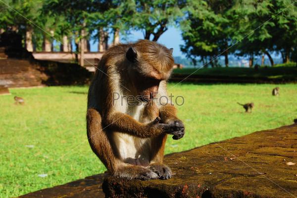 Город обезьян. Шри Ланка