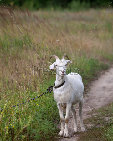 Goat on meadow