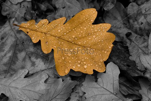 Yellow leaf of an oak
