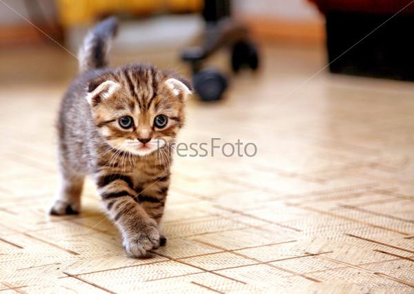 котята вислоухие полосатые фото