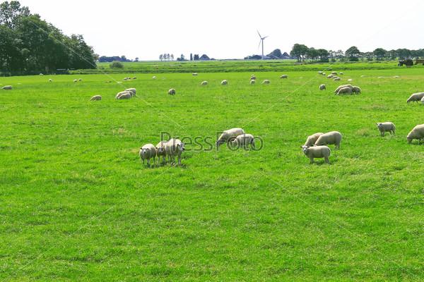 Sheep graze in a meadow near the Dutch farm