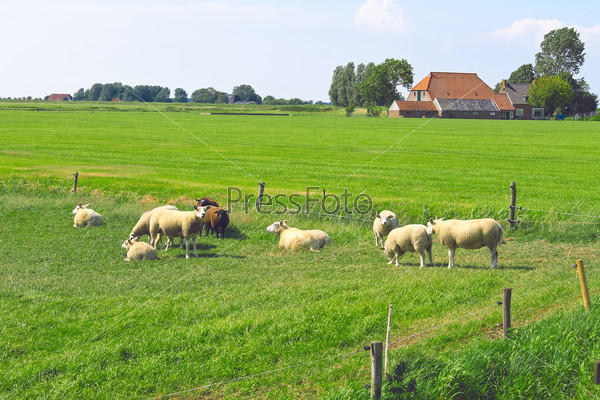 Sheep graze in a meadow near the Dutch farm