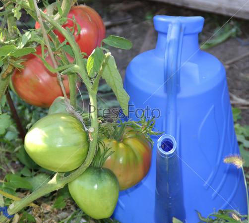 Кисть томатов рядом с лейкой на огороде