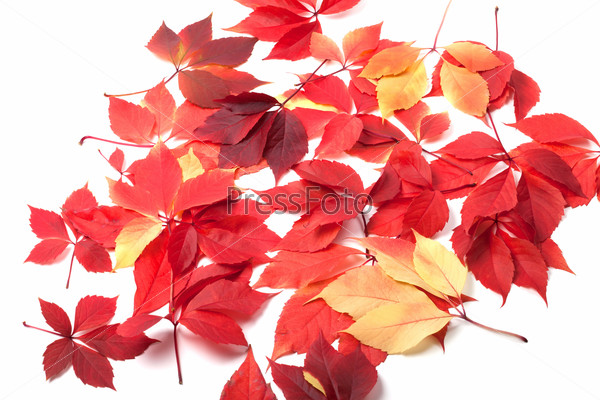 Scattered autumn leaves on white background
