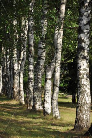 Березы, растущие в ряд вдоль дороги на озере Боровое