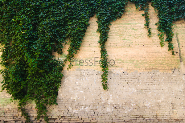 Stone wall with grapevine