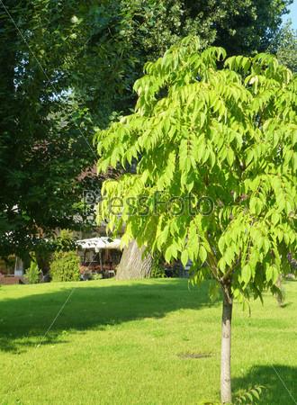 Молодое ореховое дерево