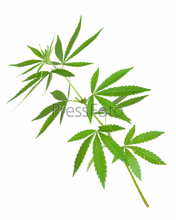 Ветки марихуаны конопля где достать
