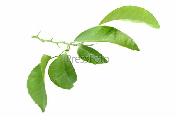 Ветвь с шипами цитрусового дерева