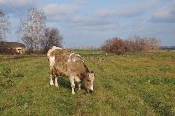 Фотография на тему Корова на поле