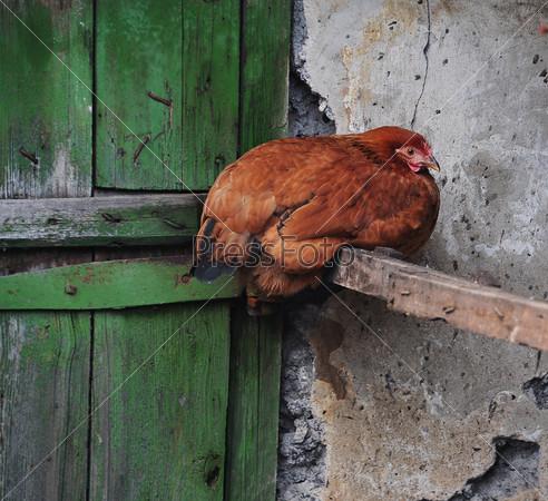 Сидящая рыжая курица