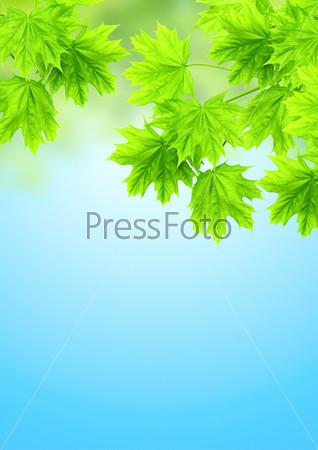 Фотография на тему Листья клена