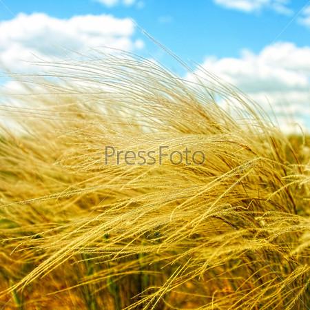 Ковыль в поле, солнечный летний день