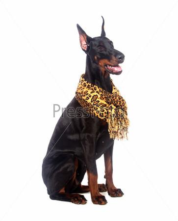 Собака доберман с шарфиком