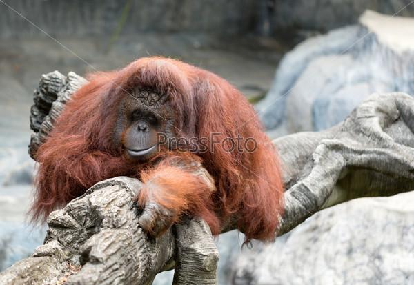 Фотография на тему Орангутанг в зоопарке