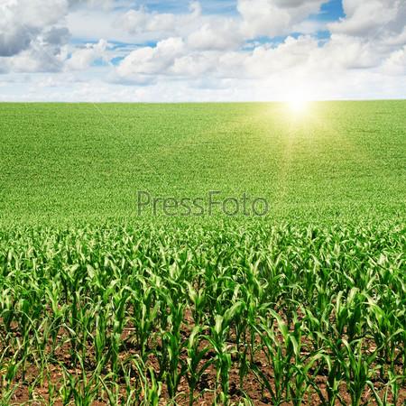 Восход солнца над кукурузным полем