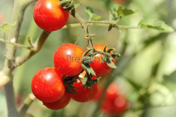 Фотография на тему Растущие помидоры