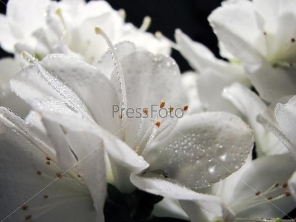Цветы рододендрона с росой