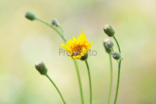 Пчела опыляет желтый полевой цветок