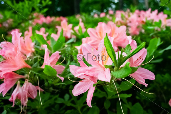 Цветущие кусты рододендронов