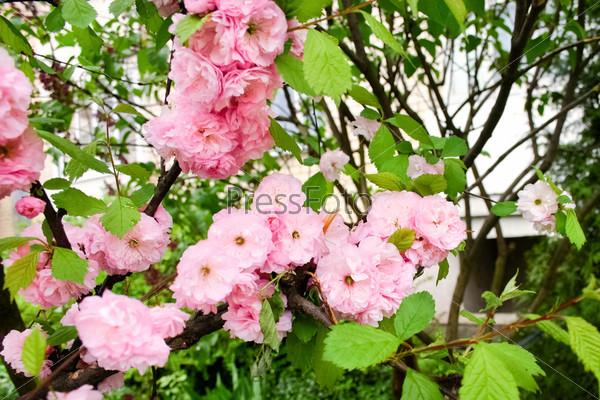 Цветущая розовая сакура