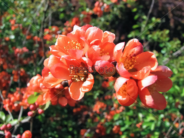 Цветущие ветви барбариса