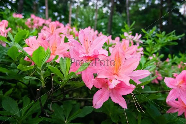 Цветущие кусты с розовыми цветами