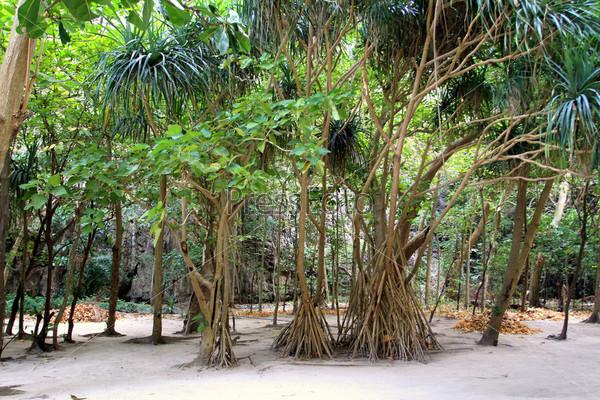 Пальмы с ходульными корнями в бухте Майя Бей, острова Пхи Пхи, провинция Краби,Таиланд