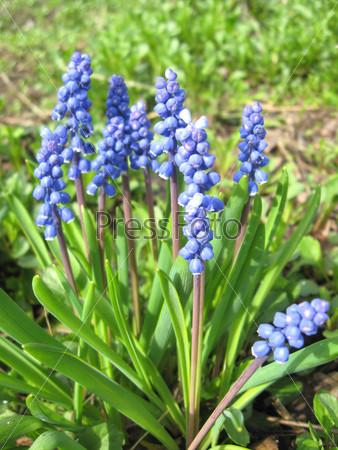Красивые голубые цветы мускари