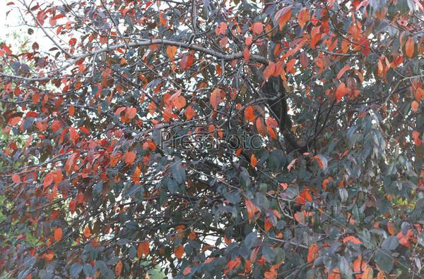 Фотография на тему Дерево с синими и красными листьями