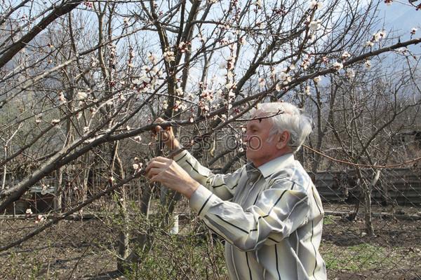Пожилой мужчина смотрит на цветущие ветви абрикоса